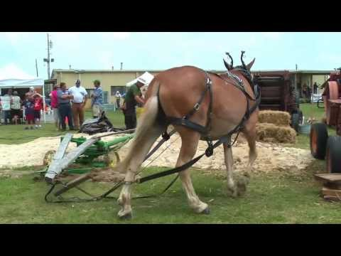 Bailing hay with 1 mule, Edenton, Chowan County, North Carolina