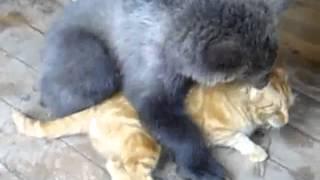 Медведь против кошки - Bear v. cat