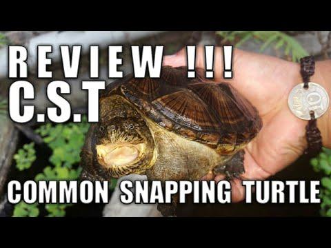 Review Kura-Kura Common Snapping Turtle (CST)