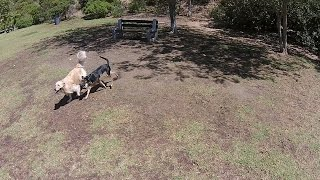 Drone Aerial View Of Two Dogs Playing At Laguna Beach Dog Park - Dji Phantom 2 Vision+