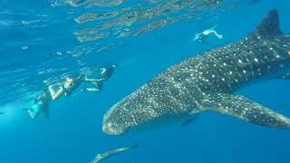 Rand'eau Requins Baleine 2018_Les Baleines Rand'eau_Nosy Be