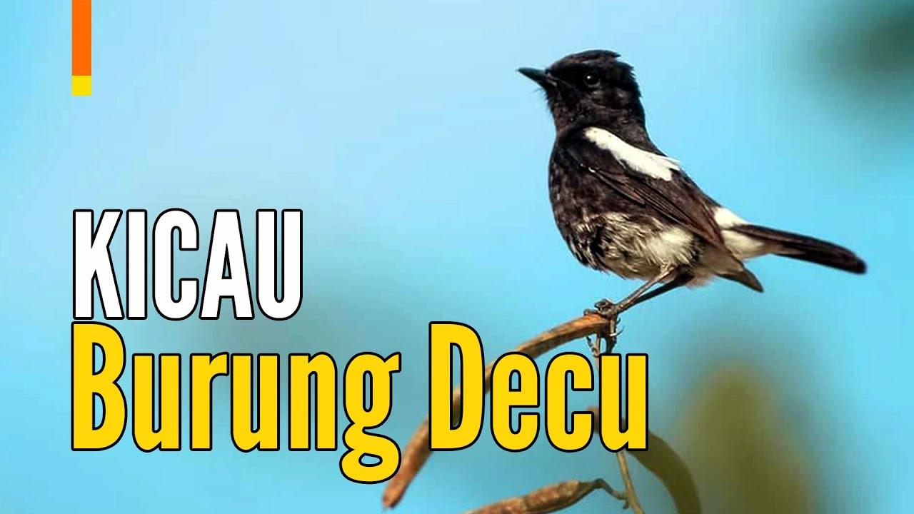 Suara Burung Decu Kembang Sikatan Belang Gacor Youtube
