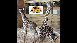 Animal Adventure Park Giraffe Cam