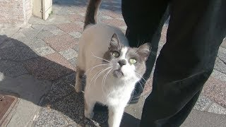 Cat with grey nose meowing so cute thumbnail