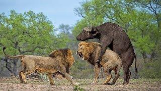 사자 vs 버팔로 화난 버팔로 사자를 죽이다! buffalo attack lion