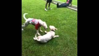 Dogo Argentino (mika) Vs Bull Terrier (terror)