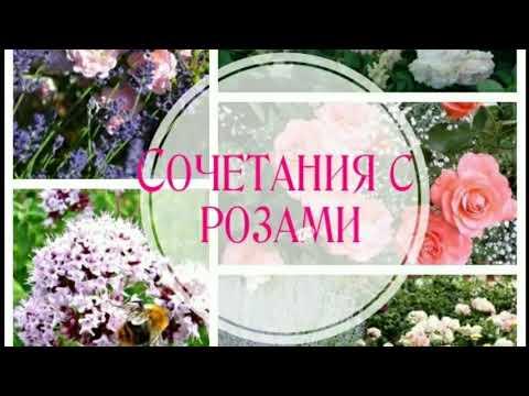 Вопрос: Какие растения являются классическими компаньонами роз?