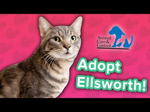 Adopt Ellsworth! // Tabby // Adoption Featurette