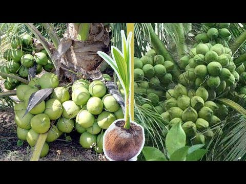 How To Plant Fruitful Coconut Tree and Make Organic Fertilizer