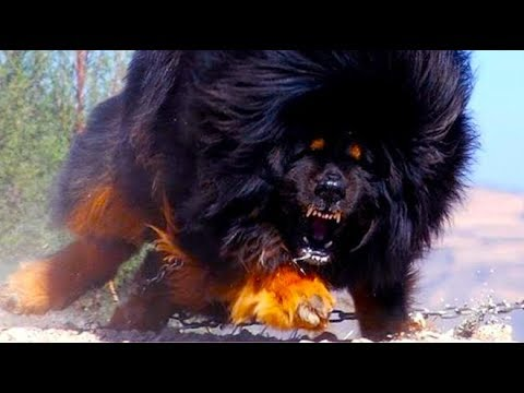 Facts You Didn't Know About The largest Dog breeds in the planet
