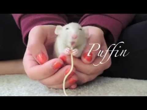 Мои подружки -  крысы.