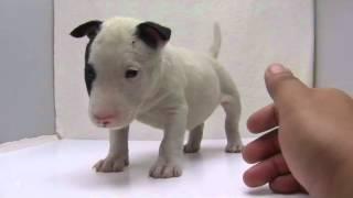 かわいいミニチュアブルテリアの子犬が誕生しました! ブリーダー直販に...