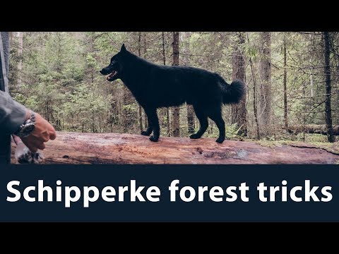 Schipperke tricks in forest