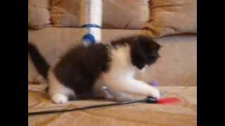 Котята породы экзот