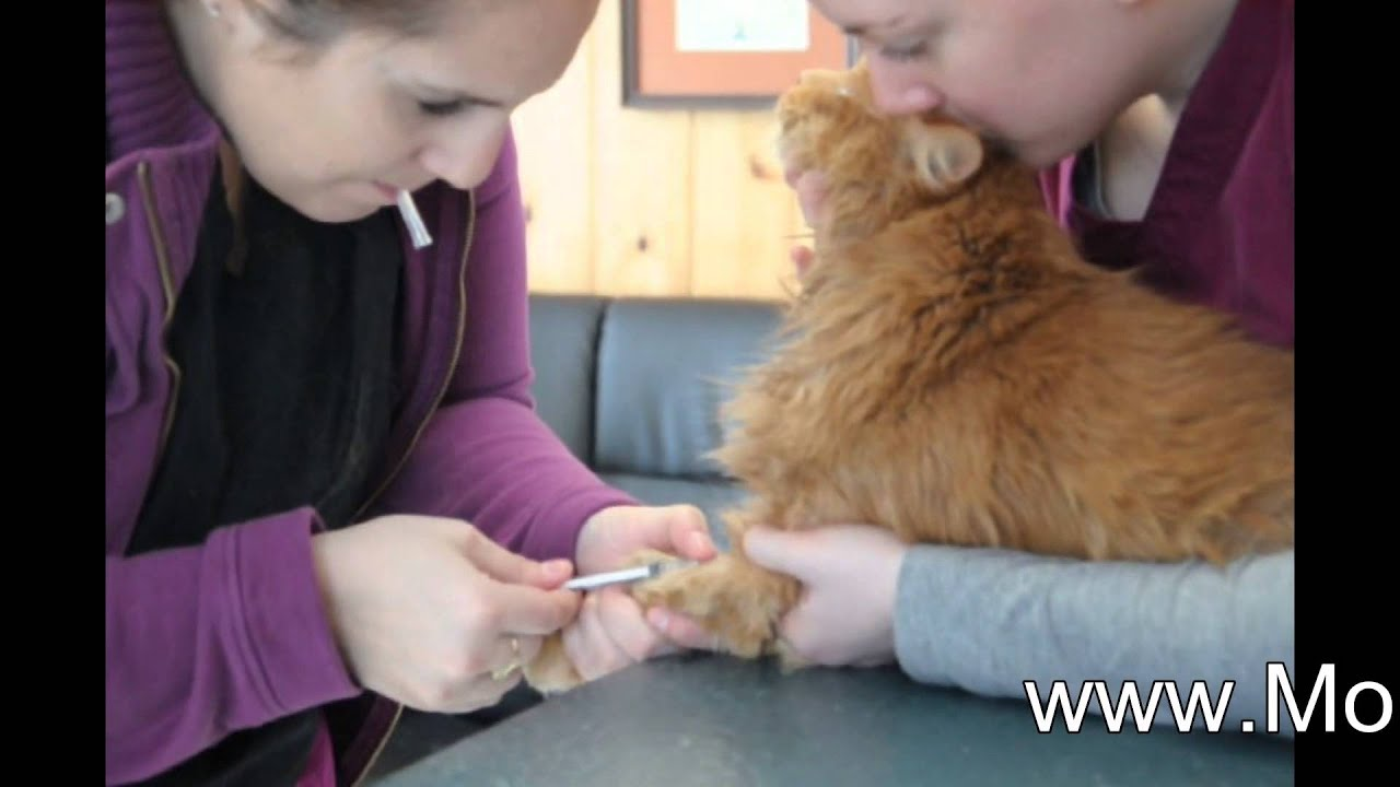 blood sample cat   youtube