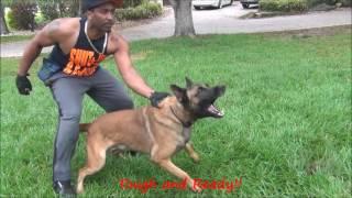 Jack _ A Family Protection Dog _ The K9 Training Academy