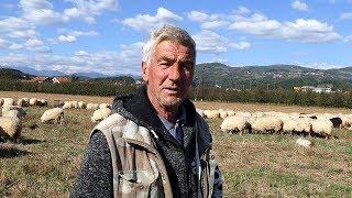 Jedna ovca na godinu donese  800 KM
