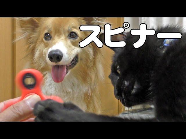 spinner Vs. Roku & Kuro / ハンドスピナーを見たロクさんとクロさんは? 20170512  dog cat コーギー 犬 猫 toy リハビリ おもちゃ