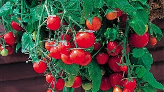 Высокоурожайные балконные помидоры(, 2017-04-16T11:14:57.000Z)
