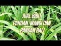 Cara menanam pandan tanpa akar