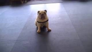 Puppy Push-ups | 3 Year Old English Bulldog | Dog Training Atlanta