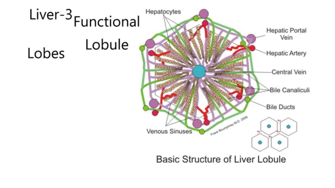 Liver3 The Liver Lobule Functional Unit Of Liver Youtube