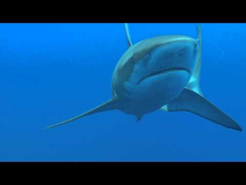 Galapagos shark during deco at Lisianski   video by Robert K  Whitton