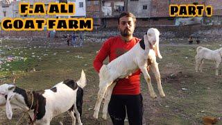 F.A ALI GOAT FARM BEAUTIFULL GOAT