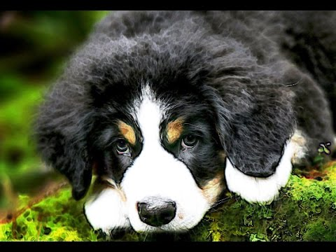 BERNESE MOUNTAIN DOG Brief History Berner Sennenhund history facts breed of dog lovers dogs origins