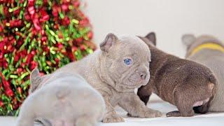 French Bulldog Lilac Puppies