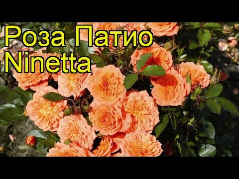 Роза патио Нинетта. Краткий обзор, описание характеристик, где купить саженцы Ninetta