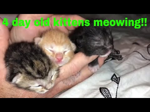 Little kittens meowing and talking 3 newborn kittens and mommy cat