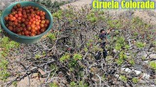Ciruela Silvestre para Comer con frijoles y hervidas con Azucar 🍅
