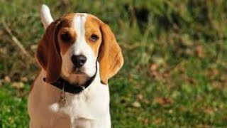 #102 ENGLISH FOXHOUND 1/2   | Which Dog Should I Get? Dog Breed Selector