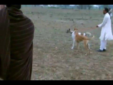 Best Dog Race Amazing Kotla Sarang Khan Gujrat Pakistan