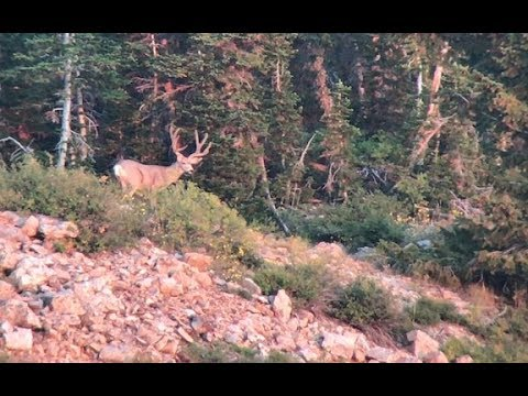 Archery Hunting Mule Deer in the HIGH COUNTRY! Part 1