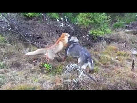 A Wild Fox And A Dog Meet In The Woods...