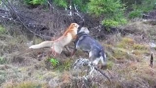 a wild fox and a dog met in the woods next is going to melt your heart