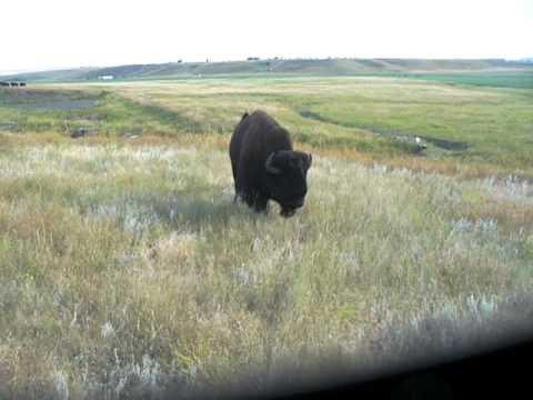 Buffalo chase - South Dakota