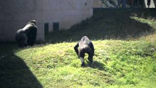 Gorilla vs Chimp at Philadelphia Zoo