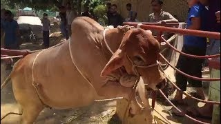 Most Beautiful Cow Qurbani 2018 | Most Beautiful Brown Bull Qurbani 2018