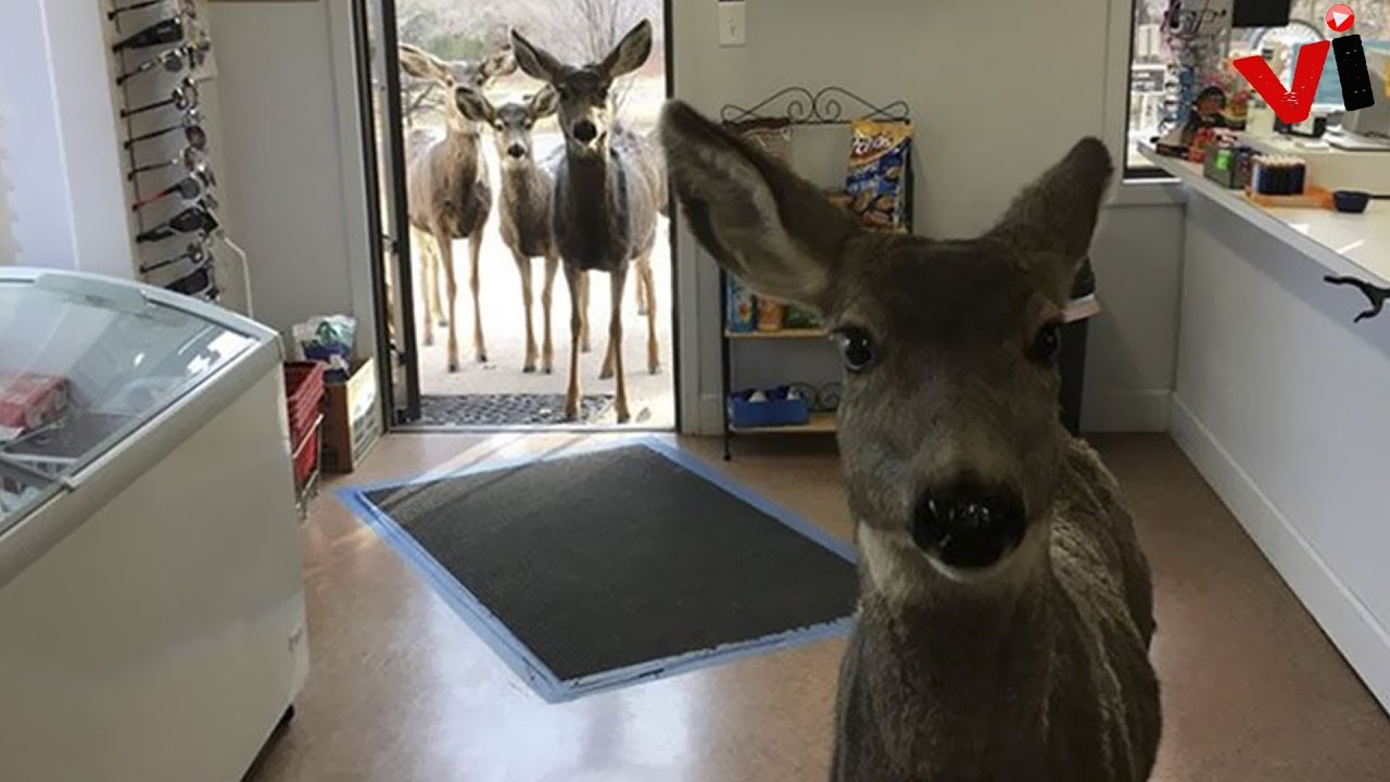 Deer Walks Into Store To Check Their Goods, Later Brings A Surprise