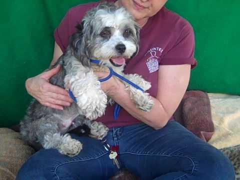 RESCUED! A5084249 Auntie | Lhasa Apso/Miniature Poodle Puppy