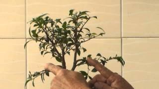 Bonsai para Iniciantes - Evitar a morte do Bonsai [ PARTE 2 ]