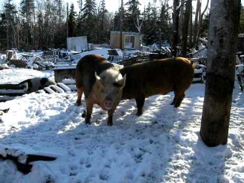 Pig courtship in Otter Creek Maine