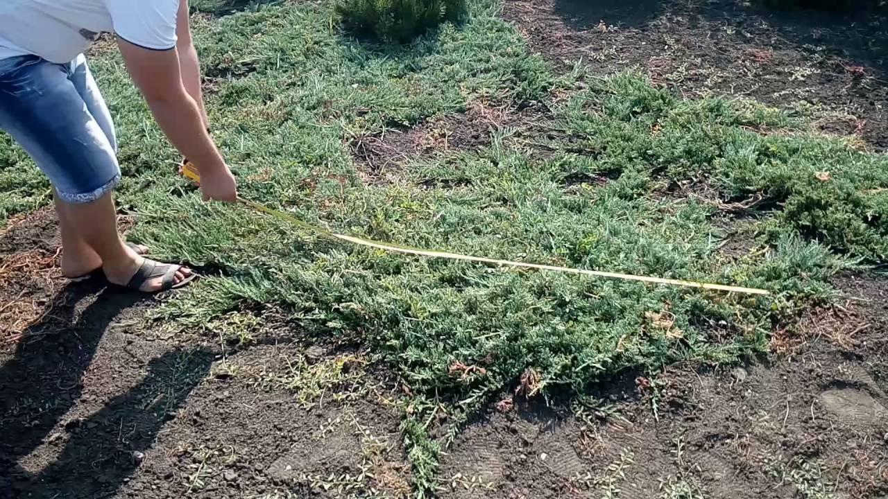 Саженцы китайского можжевельника сорта стрикта вариегата (stricta variegata) можно купить у нас по низкой цене, благодаря необычной пятнистой.