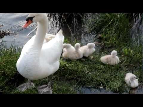 Los cisnes con sus crias en la ria de O Burgo
