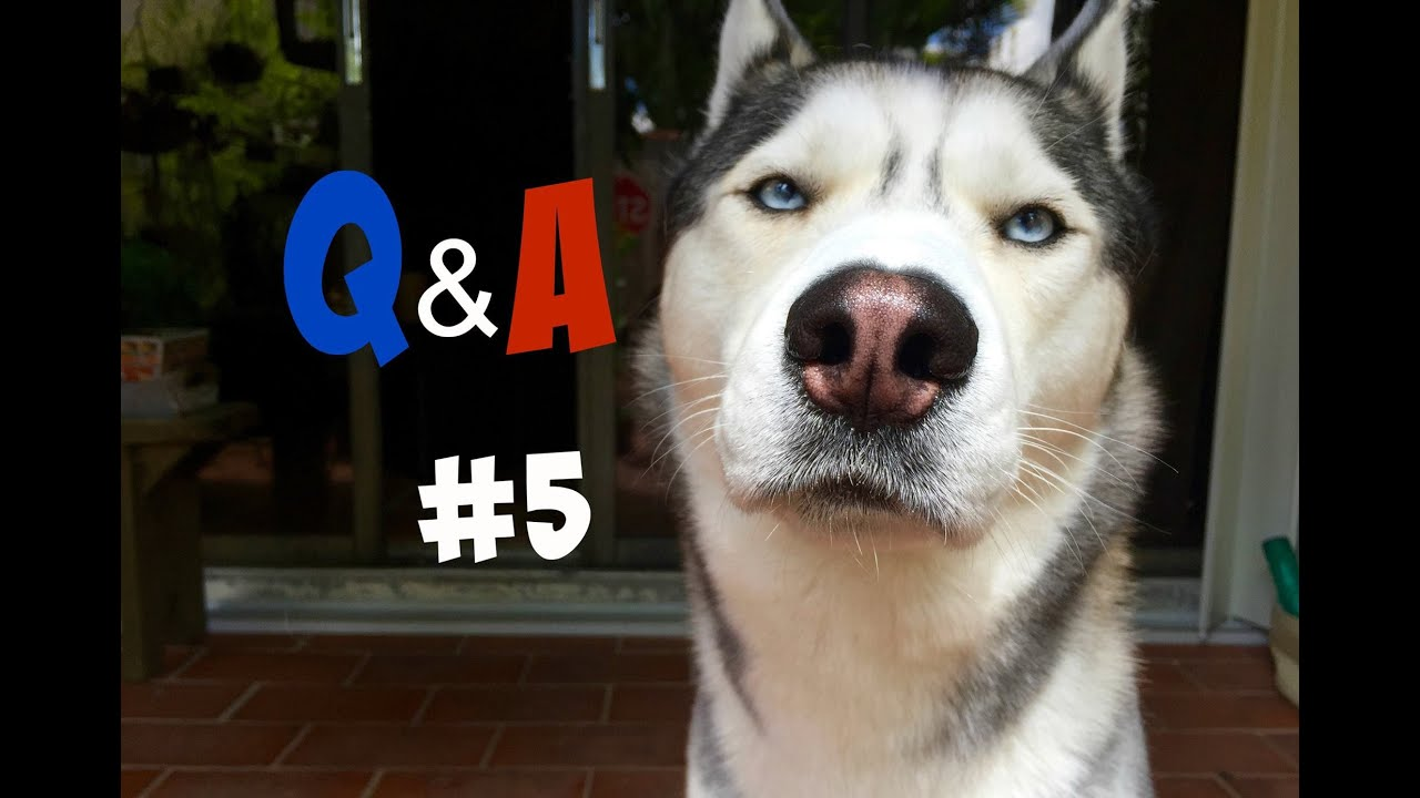 Husky Questions and Answers Video! (Q&A#5)