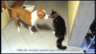 Video, Кошки породы Мейн КУН