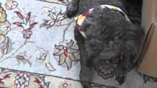 Canine Loss Of Motor Control Video - Poodle Muscle Spasm